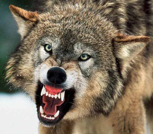 When Wolves Attack!   Lost In A Supermarket